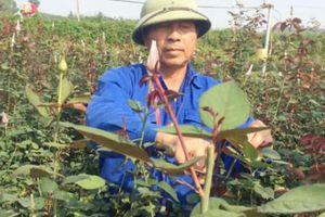 Bỏ lúa trồng hoa hồng, mỗi sào cho thu hơn 30 triệu đồng