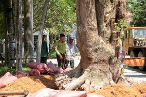 Cận cảnh cây giáng hương 'khủng' bị bứng khỏi rừng phòng hộ