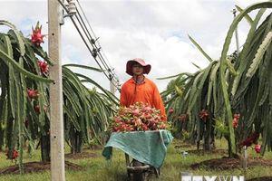 Thanh long Bình Thuận tìm cách chinh phục thị trường Ấn Độ