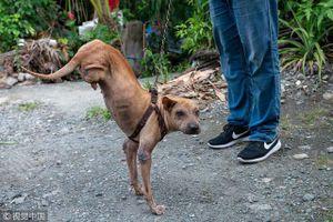Chú chó đi bằng hai chân và câu chuyện nghị lực khiến con người phải nể phục