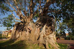 Chùm ảnh: Cây bồ đề cổ thụ chu vi 12 mét, hình thù độc lạ bậc nhất Việt Nam