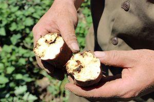Công ty 'biến mất', hàng chục ngàn tấn khoai lang Nhật thối ngoài đồng