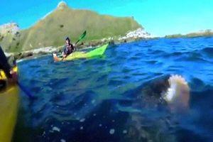 Video hải cẩu ngoạm bạch tuộc quật thẳng vào mặt người chèo thuyền