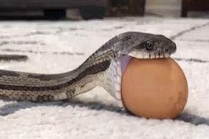 Khả năng mở hàm vượt bậc của loài rắn khi thử ăn trứng gà