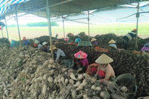 Giá khoai giảm sâu, nông dân từ hòa vốn đến lỗ vốn