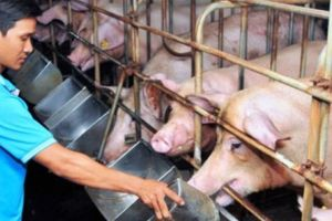 Giá heo hơi hôm nay 28/9: Giá lợn hơi hết 'nóng', người nuôi lại 'toát mồ hôi'