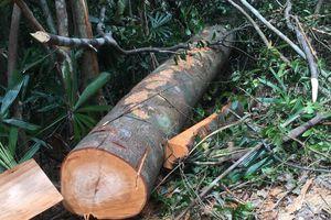 Lâm tặc 'xẻ thịt' rừng phòng hộ ở Huế: Đình chỉ đội trưởng bảo vệ rừng