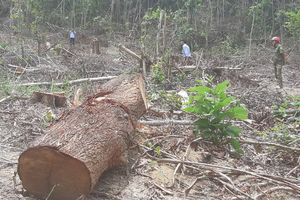 Tận thu khai thác gỗ bị gãy, lâm tặc phá hơn 10 ha rừng