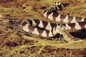 Rắn vua tấn công, nuốt trọn rắn đuôi chuông chỉ trong chớp mắt