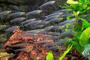 Khám phá bất ngờ loài cá trong suốt như thủy tinh, 'hot' ở VN