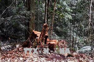 Để hàng trăm mét khối lim bị đốn hạ, Trạm trưởng quản lý rừng ở Quảng Nam bị bắt