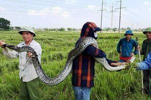 Xác minh nguồn gốc con trăn dài 2,5m người dân bắt được khi đi gặt lúa