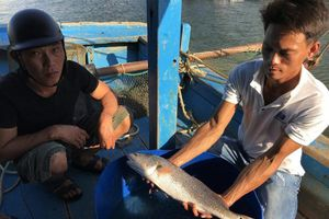 Ngư dân Đà Nẵng bắt được cá nghi là cá sủ vàng quý hiếm