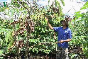 Người trồng cà phê ở Gia Lai 'khóc ròng' vì mưa
