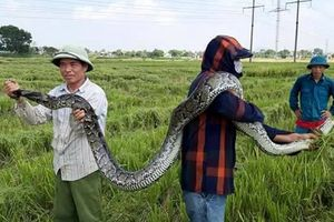Con trăn dài 2,5 m do người dân bắt lúc gặt lúa được thả về tự nhiên