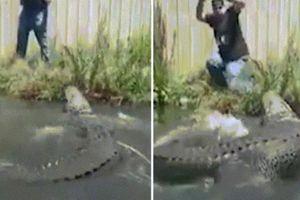 Kéo đuôi cá sấu khổng lồ, bị tấn công cực nhanh