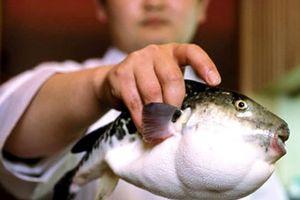 Ăn món cá nóc khoái khẩu, nhiều người suýt mất mạng