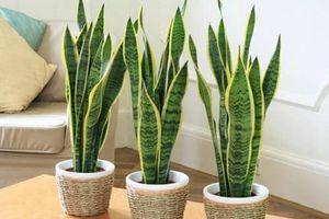 10 loại cây trồng trong nhà xua tan nỗ lo ô nhiễm không khí