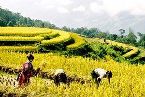 Lên Hà Giang ngắm ruộng bậc thang Hoàng Su Phì