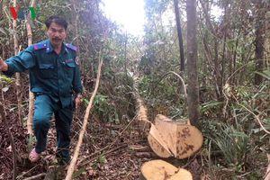 Gỗ rừng phòng hộ A Lưới bị đốn hạ, kiểm lâm giật mình vào cuộc 
