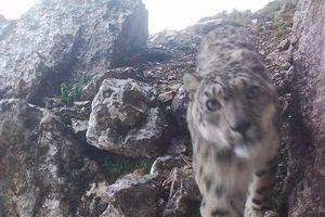 Báo tuyết 'chụp ảnh selfie' ở độ cao gần 5.000 m gây bão mạng
