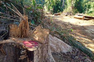 Quảng Nam: Bắt tạm giam Giám đốc để điều tra vụ phá rừng tự nhiên