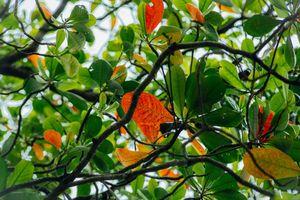 Lâu lắm rồi, Sài Gòn mới có những ngày cây vàng lá đỏ, bầu trời trong xanh chớm thu khẽ khàng đến như vậy!