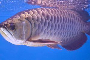Cá rồng châu Á 7 tỷ đồng 'báo trước hiểm họa' khiến đại gia say mê