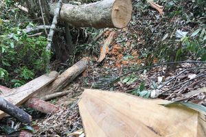 Vụ lâm tặc 'xẻ thịt' rừng phòng hộ A Lưới: Tỉnh Thừa Thiên Huế chỉ đạo làm rõ