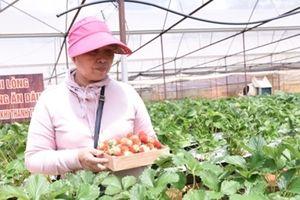 Làm giàu từ trồng dâu tây phục vụ khách du lịch
