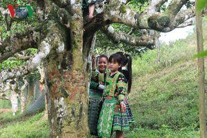 Ngắm hàng trăm cây chè Shan Tuyết cổ thụ trên đỉnh Suối Giàng