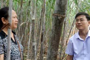 Tuyên Quang: Liên kết thâm canh, mía cho 'vị ngọt'