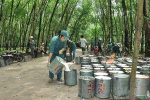 Cao su thiên nhiên xuất khẩu: 80% không được kiểm soát chất lượng