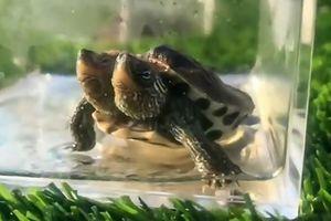 Rùa 2 đầu đột biến gen xuất hiện ở Trung Quốc