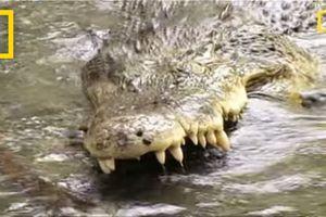 Rắn hổ mang con 'điếc không sợ súng' đối đầu cá sấu