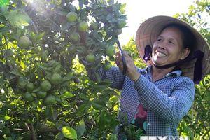 Quýt ngọt Hương Cần đặc sản của Thừa Thiên-Huế vào vụ thu hoạch
