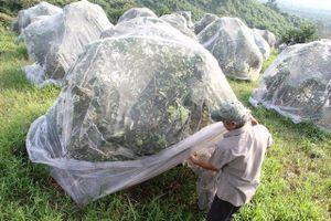 Mắc màn bảo vệ cam giữa rừng sâu, lão nông kiếm 5 tỷ đồng mỗi năm