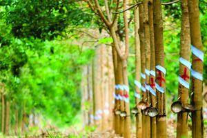 Chiến tranh thương mại Mỹ - Trung: Cơ hội vàng cho ngành gỗ cao su
