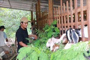 Mô hình chăn nuôi dê sạch