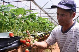 Đà Lạt: Trồng dâu tây bán ngay tại vườn, mỗi tháng thu 250 triệu đồng