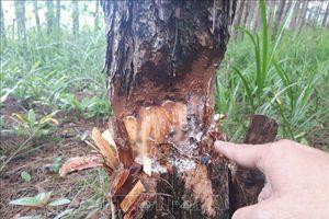 Phát hiện vụ phá rừng lấy gỗ trái phép ở Bình Phước
