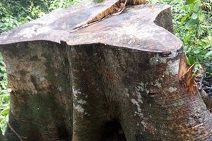 Lâm tặc phá rừng, hai Trạm trưởng trạm quản lý rừng bị kỷ luật