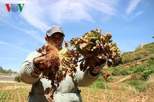 Virus đốm héo cà chua gây hại nhiều loại cây trồng ở Lâm Đồng
