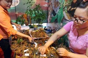 Quảng Nam: Bán 57kg sâm Ngọc Linh, người dân đã được 130 cây vàng