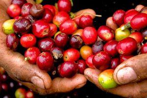 Giá nông sản hôm nay 4/10: Giá cà phê giảm sau phiên tăng chóng mặt, giá tiêu tăng nhẹ
