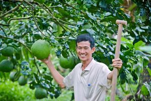 Bí quyết làm giàu: Trồng dừa dứa xen bưởi da xanh