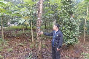 Đã mất mùa giá lại xuống thấp, dân Phú Yên ôm nợ vì tiêu