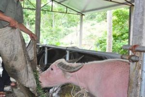Tận mắt thấy trâu ngố khổng lồ, đặc sản quý hiếm có 1-0-2 ở Việt Nam