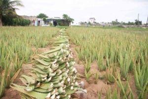 Nông dân Ninh Thuận thoát nghèo nhờ cây nha đam