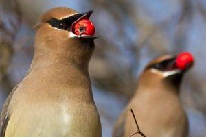 Mỹ: Hoang mang vì... chim say xỉn, 'quậy phá'